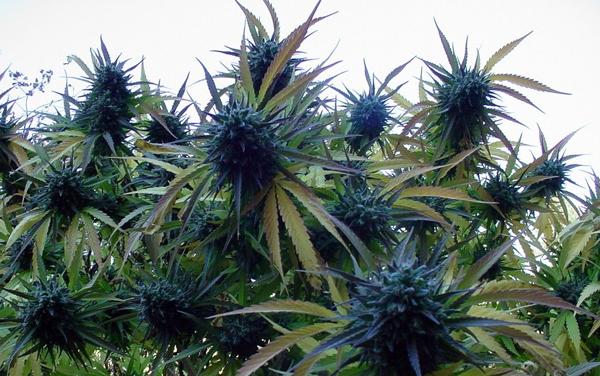 Marijuana som medicin mot knark