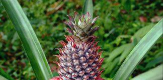 Ananas - Foto: Wikimedia Commons
