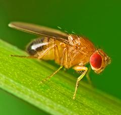 fruktfluga