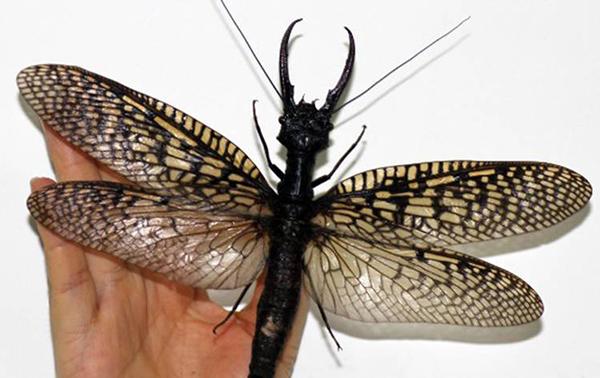 Kinesisk-monsterslanda-insekt