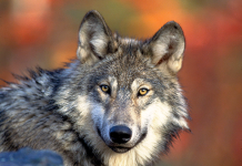 Varg Canis lupus - Foto: Wikimedia Commons