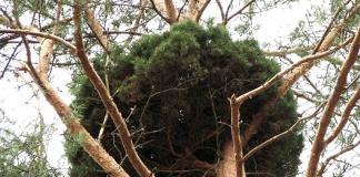 Bild: Pinus sylvestris - Foto: Beentree, Wikimedia Commons