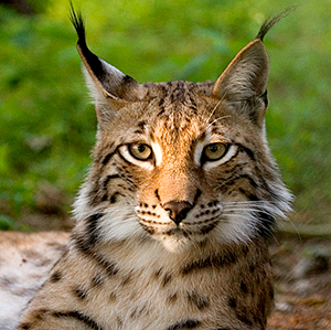 Lynx - Photo: Bernard Landgraf
