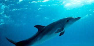 Atlantic Spotted Dolphin - Stenella Plagiodon - Wikimedia Commons