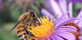 Europeiskt honungsbi - Foto: John Severns, Wikimedia Commons