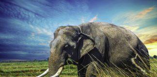 Afrikansk elefant. Foto: เอกลักษณ์ มะลิซ้อน. Licens: Free for commercial use No attribution required, Pixabay.com