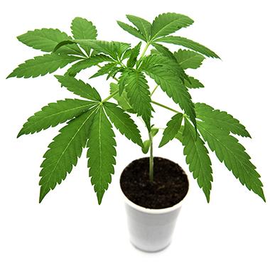 Cannabis - Foto: Crestock.com