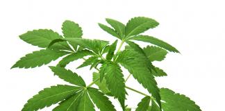 Medicinsk cannabis - Foto: Crestock.com