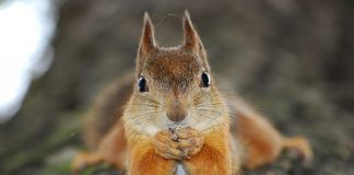 Ekorre - Foto: Squirrelify-com