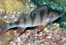 Aborre (Perca fluviatilis) - Wikimedia Commons
