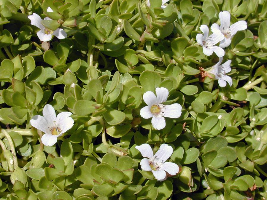Litet tjockblad, Bacopa monnieri (Brahmi) Foto: Forest och Kim Starr, Wikimedia Commons, CC BY 3.0