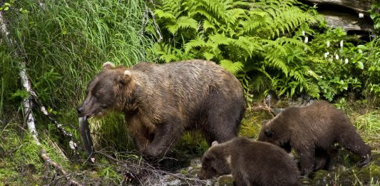 Brunbjörn vid Kenai och Russian Rivers i Alaska. Foto: US Fish and Wildlife Service. License: CC BY 2.0