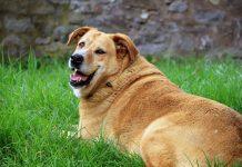 Överviktig Golden Retriever. Foto: Barbara Danázs. Licens: CC0 1.0, Pixabay.com
