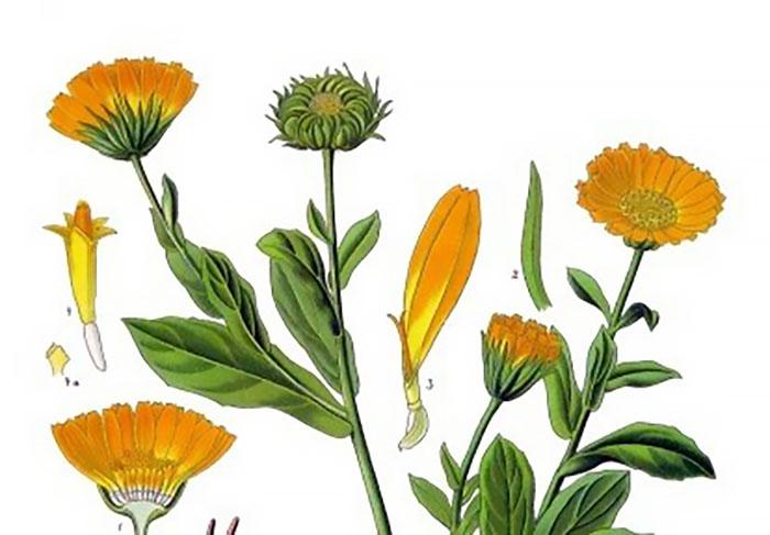 Ringblomma (Calendula officinalis). Källa: Köhlers Medizinal Pflanzen. Illustratör: Franz Eugen Köhler. Wikimedia Commons