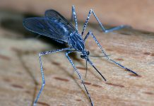 Stickmygga (Culiseta longiareolata). Foto: Alvesgaspar. Licens: CC BY-SA 3.0, Wikimedia Commons