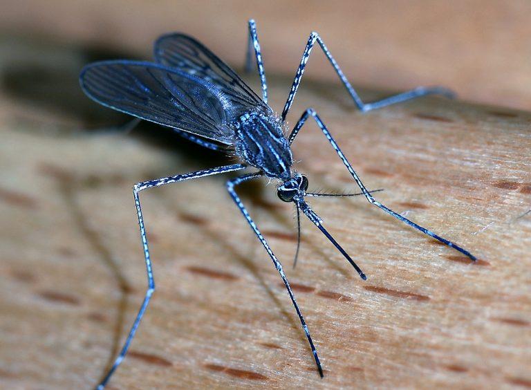 Genetisk modifierad svamppatogen kan vara slutet på malariamyggor