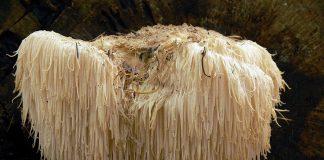 Igelkottsvamp (Hericium erinaceus) på engelska Lions mane har neurogenerativa egenskaper. Foto: Lebrac. Licens: CC BY-SA 3.0, Wikimedia Commons
