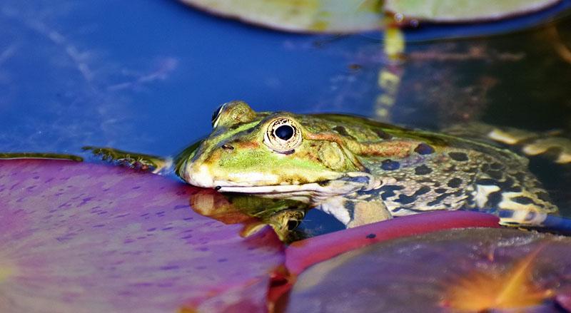 Groda. Foto: Capri23auto. Licens: Pixabay.com (free use)