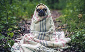 Komisk hund i filt. Foto: Free Photos.