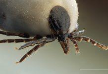 Fästingen Ixodus ricinus. Foto: Richard Bartz
