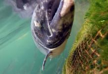 Industrilax som tex norsk fjordlax lider ofta av skador, parasiter, sjukdomar och stress. Foto: Scottishsalmonwatch.org