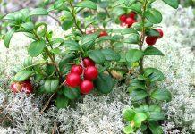 Lingon (Vaccinium vitis-idaea). Foto: Jonas Bergsten. Licens: Public Domain, Wikimedia Commons