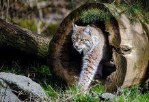 Lodjur (Lynx lynx). Foto: Skeeze. Licens: Pixabay.com