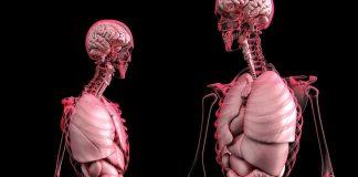 Bild: Anatomi (lungor, inälvor). Illustration: Limassol, Cyprus. Licens: Pixabay.com