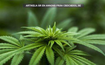 Cannabis tas bort från FN:s lista. Foto: Herbal Hemp Licens: Pixabay